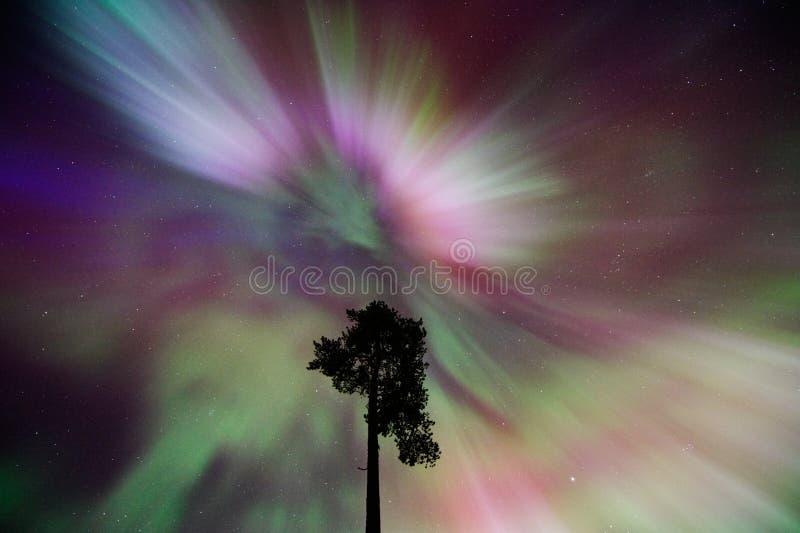 Noordelijke Lichten, Aurora Borealis-corona boven pijnboomboom royalty-vrije stock afbeeldingen