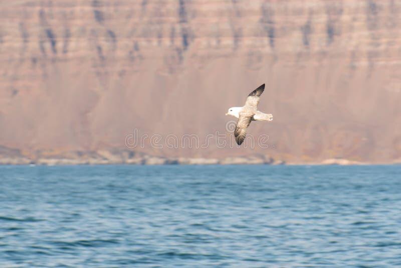Noordelijke noordse stormvogel, Fulmarus-glacialis royalty-vrije stock foto