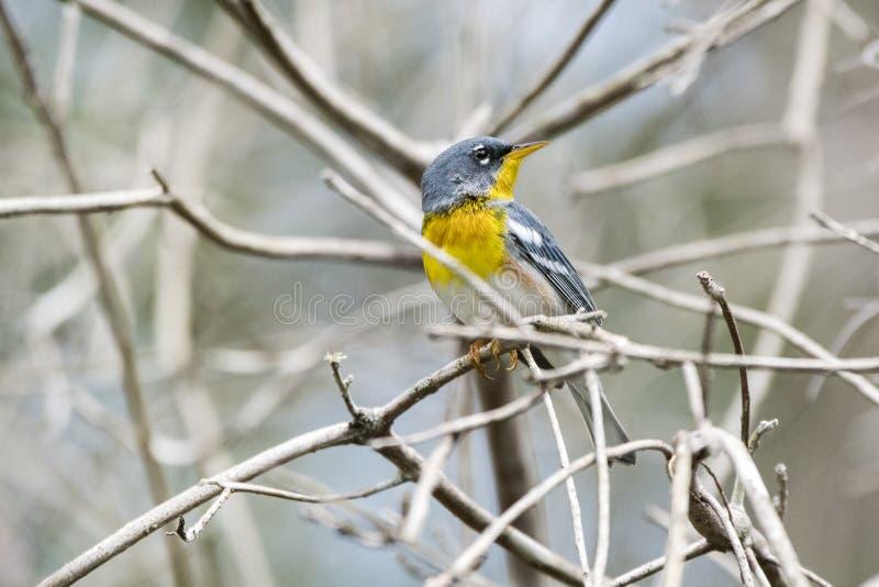Noordelijke Parula-zangvogel in Okefenokee-Moeras Georgië stock fotografie