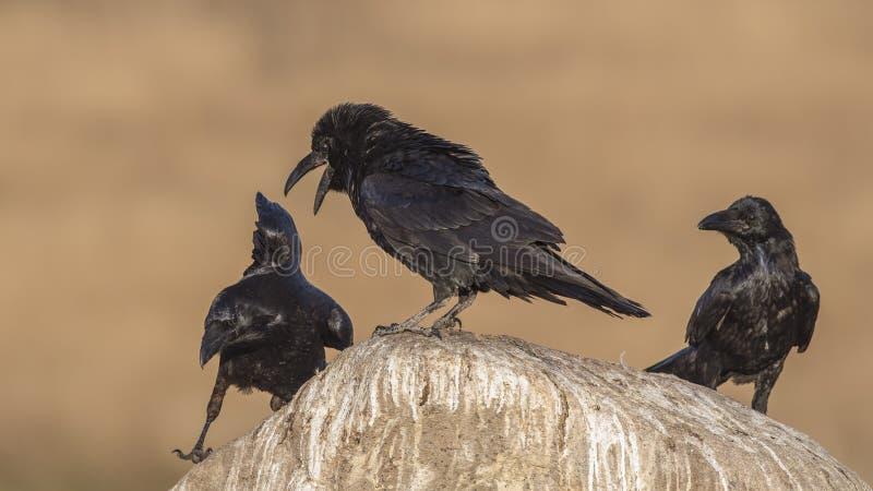 Noordelijke Raven Mad bij anderen royalty-vrije stock fotografie