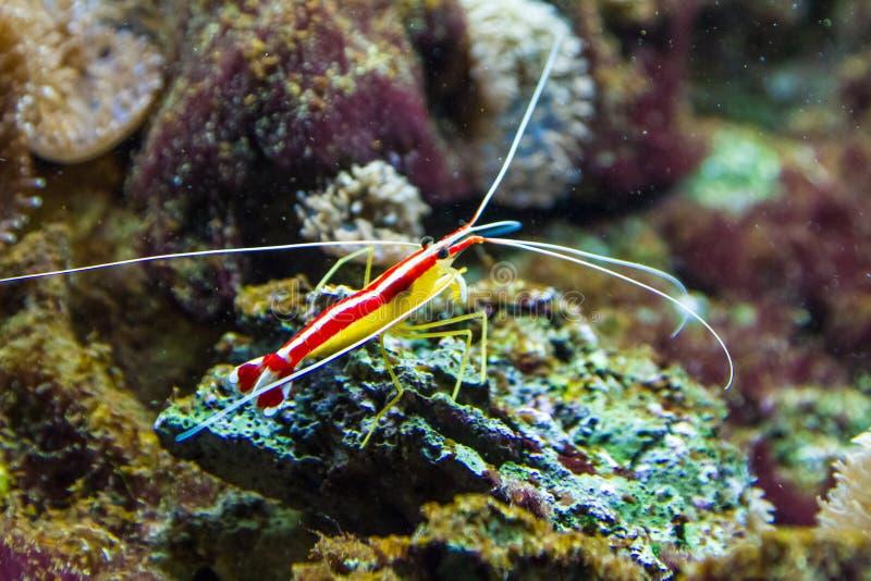 Noordelijke Scharlaken Schonere Garnaleno Rots in Aquarium royalty-vrije stock afbeeldingen