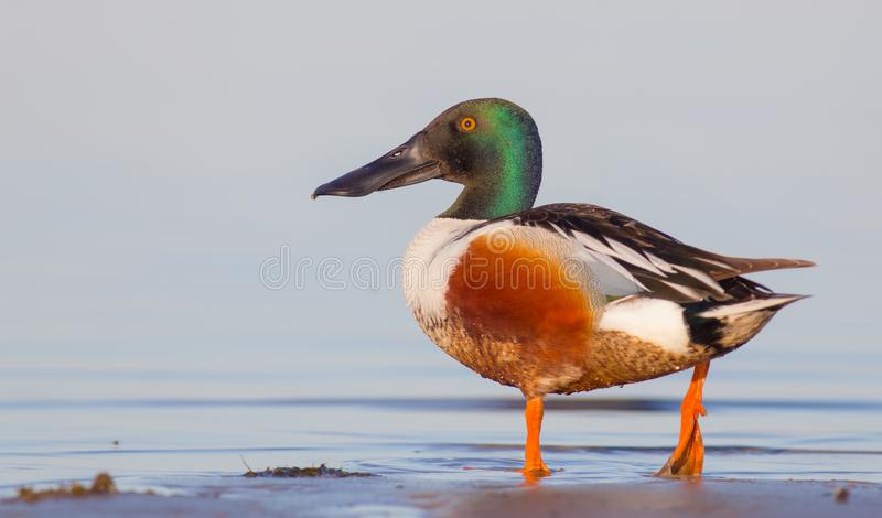 Noordelijke Slobeend - Anaclypeata/Spatelclypeata - mannetje stock foto