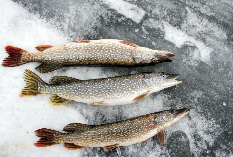 Noordelijke Snoeken op het ijs royalty-vrije stock foto