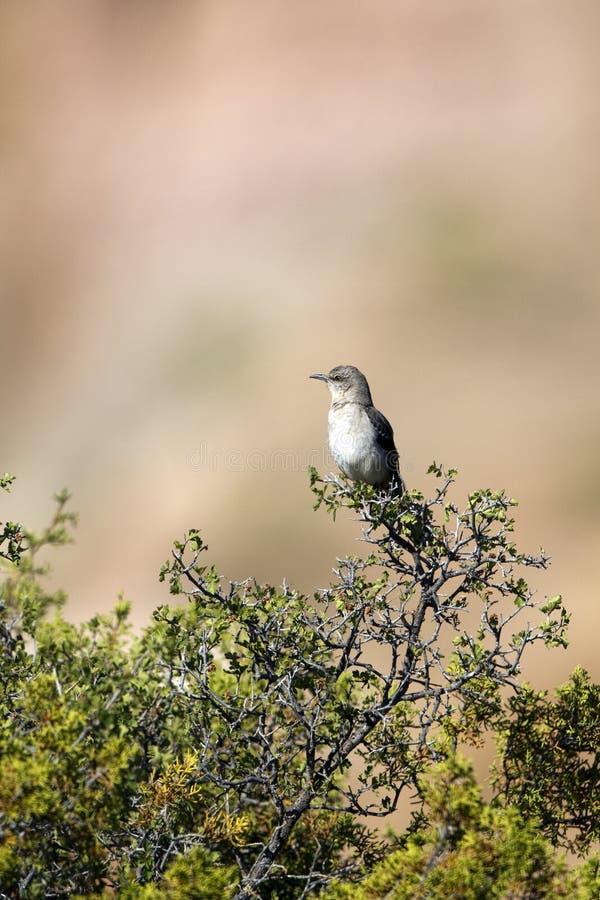 Noordelijke Spotlijster, polyglottos Mimus stock foto's