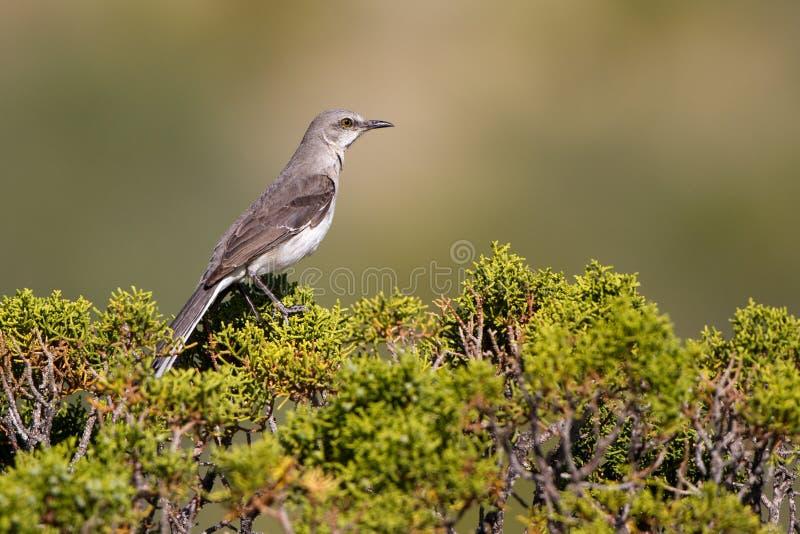 Noordelijke Spotlijster, polyglottos Mimus stock fotografie