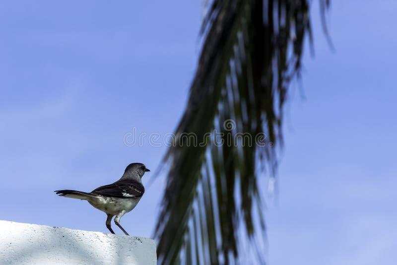 Noordelijke spotlijster in Varadero, Cuba royalty-vrije stock foto