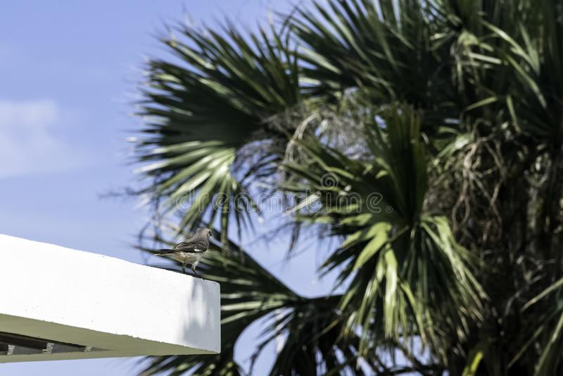 Noordelijke spotlijster in Varadero, Cuba stock fotografie