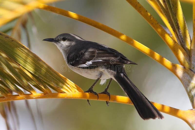 Noordelijke spotvogel Mimus polyglottos op de palmboom royalty-vrije stock fotografie