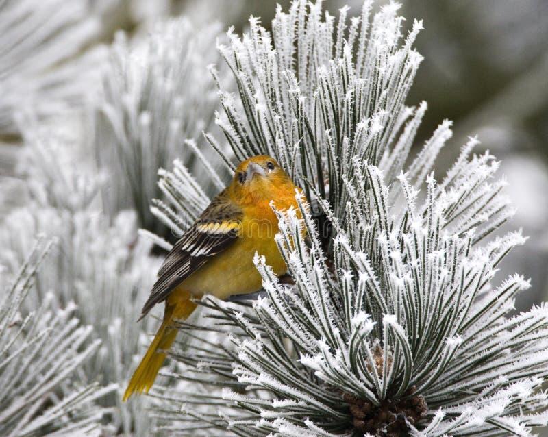 Noordelijke Troepiaal,巴尔的摩金莺,黄疸galbula 库存照片