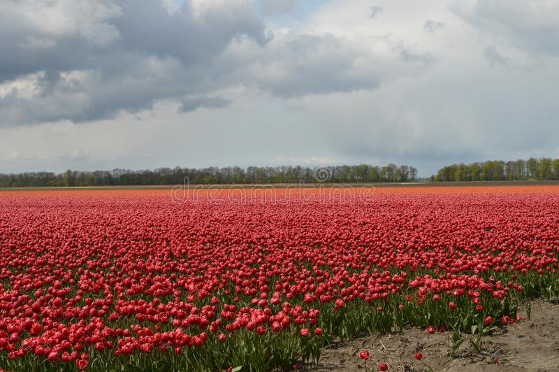 Noordoostpolder, die Niederlande, Feld von Tulpen lizenzfreies stockbild