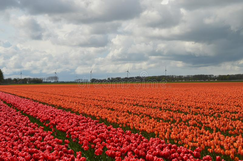 Noordoostpolder, die Niederlande, Feld von Tulpen stockbild