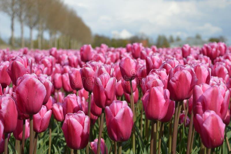 Noordoostpolder Nederländerna, fält av tulpan royaltyfria bilder