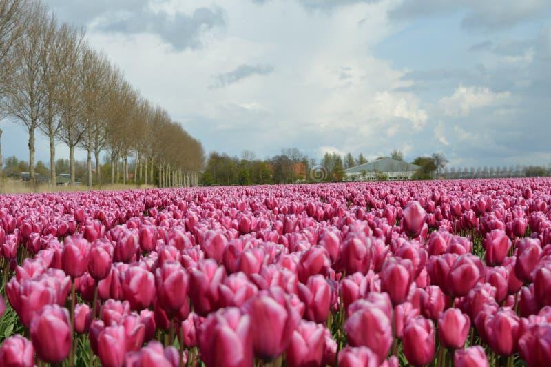Noordoostpolder Nederländerna, fält av tulpan royaltyfri fotografi
