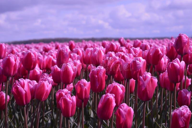 Noordoostpolder Nederländerna, fält av tulpan royaltyfri bild