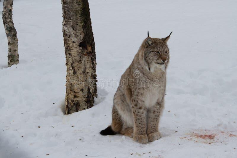 Noordpool gezeten Lynxkat royalty-vrije stock foto's