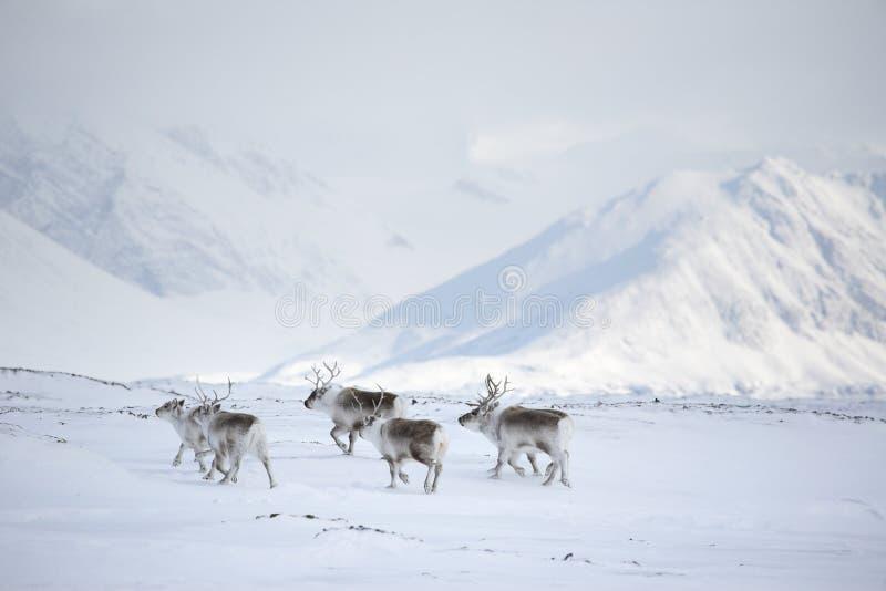 Noordpool rendieren royalty-vrije stock foto's