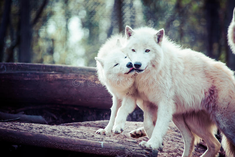 Noordpool witte wolf royalty-vrije stock fotografie