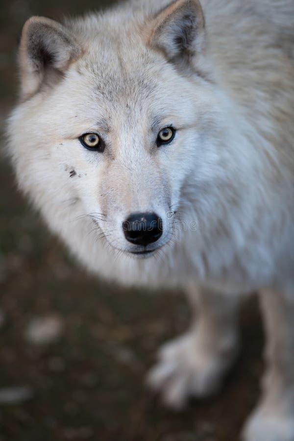 Noordpool Wolf stock foto's