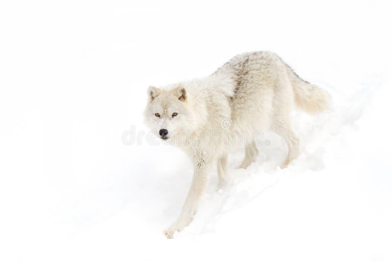 Noordpool wolf stock afbeelding