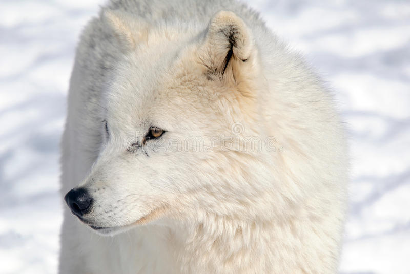 Noordpool Wolf royalty-vrije stock foto's