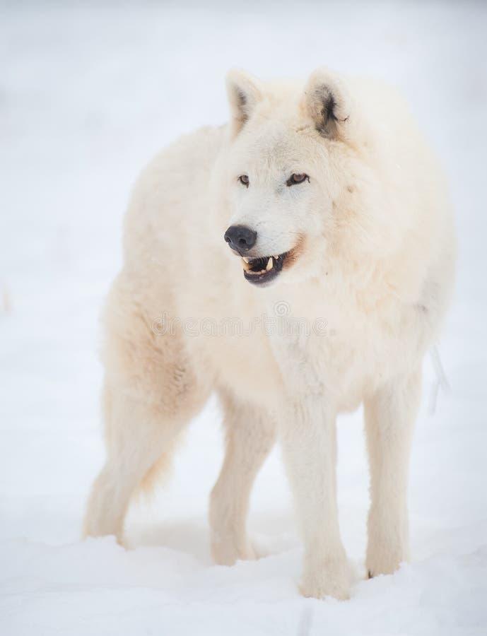 Noordpool wolf (Canis wolfszweerarctos) in sneeuw. stock afbeeldingen
