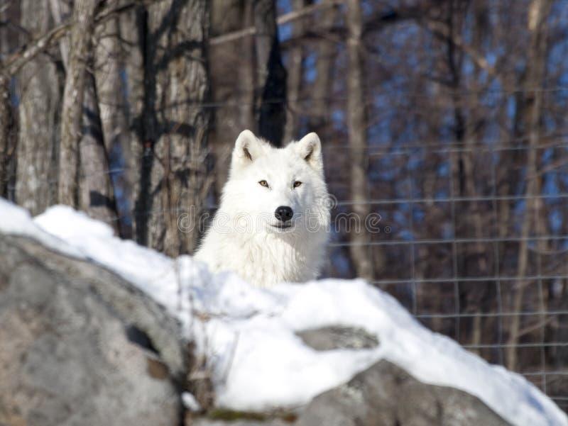 Noordpool wolf in de sneeuw stock foto's