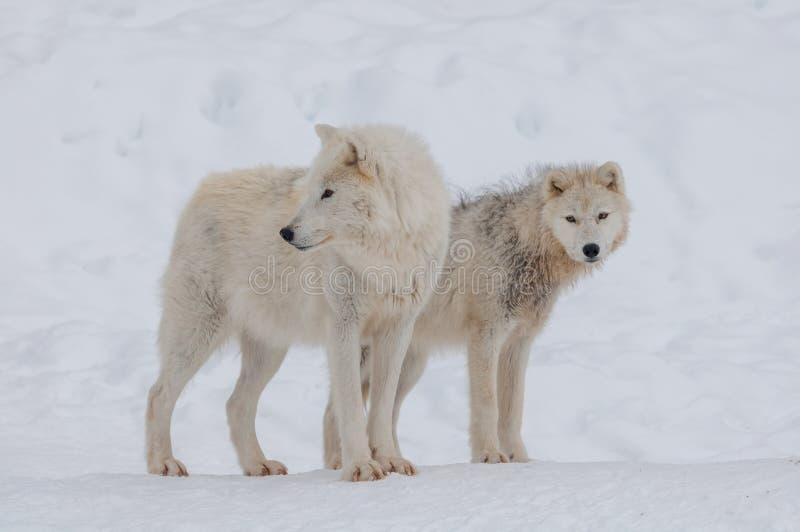 Noordpool Wolf in de Sneeuw stock afbeelding