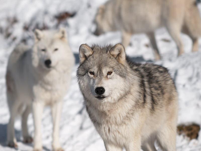 Noordpool wolf in de winter stock foto