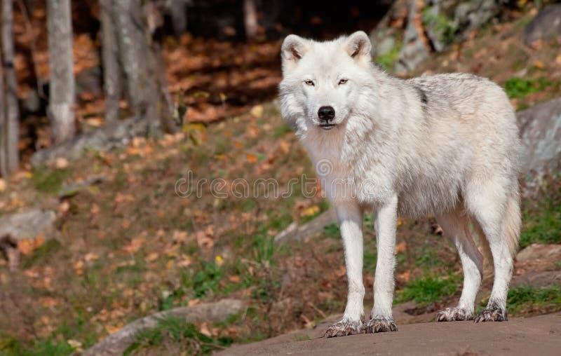 Noordpool Wolf die de Camera bekijken stock afbeeldingen