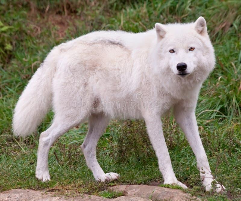 Noordpool Wolf die de Camera bekijkt royalty-vrije stock afbeelding