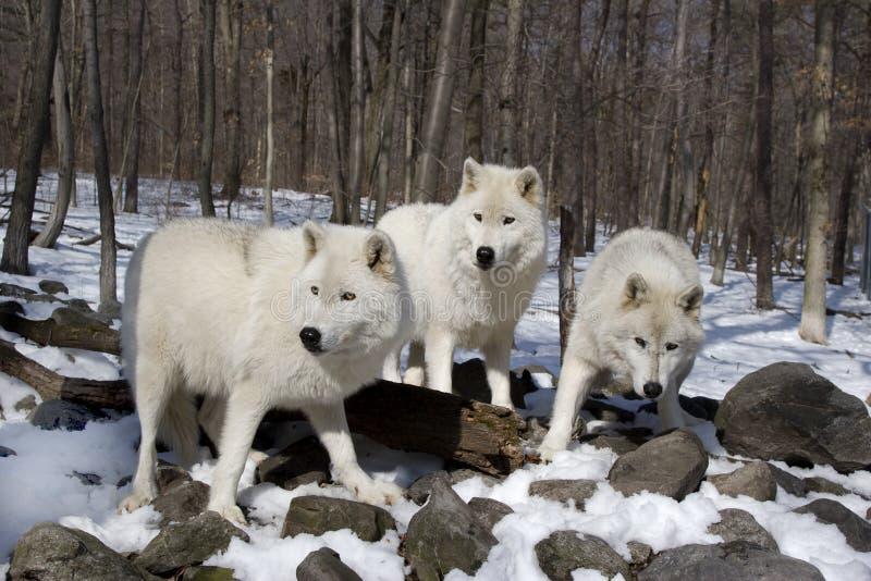 Noordpool Wolven   royalty-vrije stock afbeelding