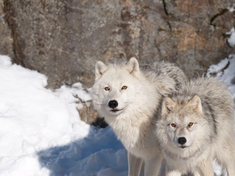 Noordpool wolven in de winter stock afbeeldingen