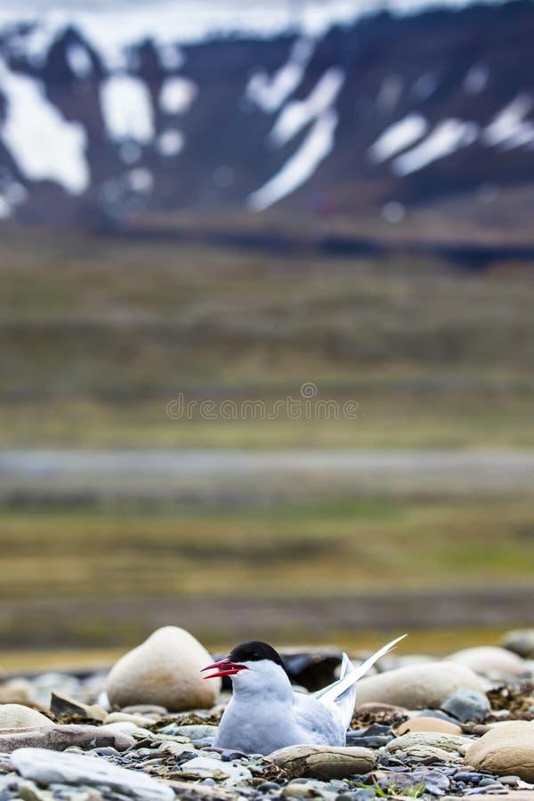 Noordpoolstern die zich dichtbij haar nest bevinden die haar ei beschermen tegen roofdieren royalty-vrije stock foto