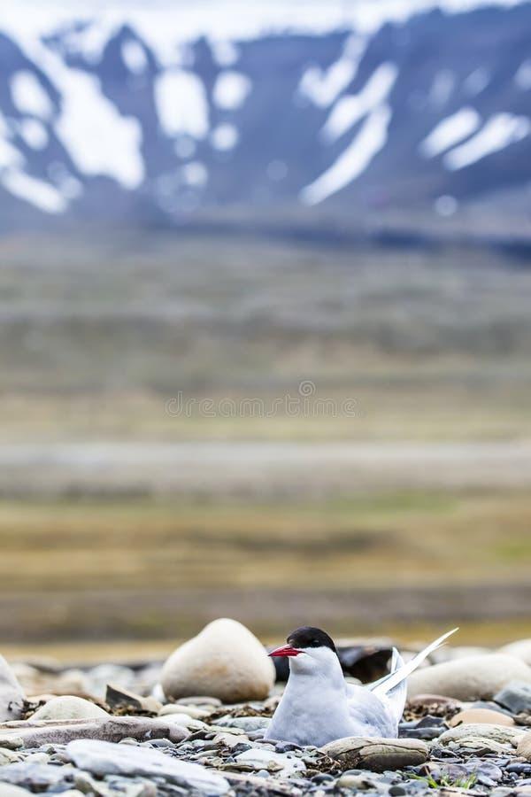 Noordpoolstern die zich dichtbij haar nest bevinden die haar ei beschermen tegen roofdieren royalty-vrije stock afbeeldingen