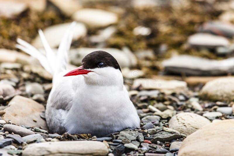 Noordpoolstern die zich dichtbij haar nest bevinden die haar ei beschermen tegen roofdieren stock foto's