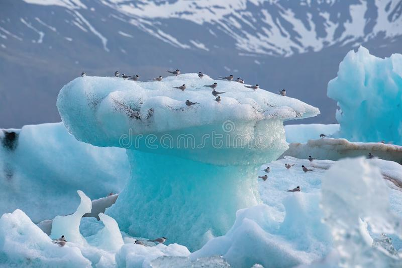 Noordpoolsternen, Borstbeenderenparadisaea, die op ijsberg bij Jokulsarlon-gletsjermeer rusten in IJsland royalty-vrije stock foto