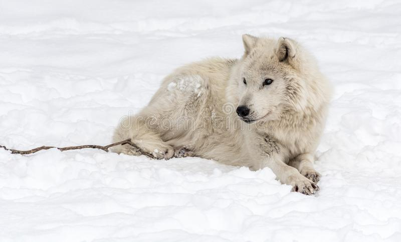 Noordpoolwolf lying op de Sneeuw royalty-vrije stock afbeelding