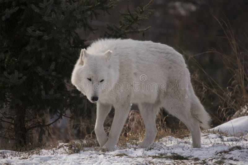 Noordpoolwolf walking in snow stock foto's