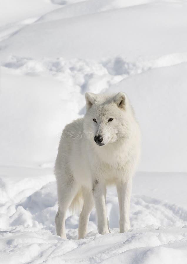 Noordpoolwolf walking in the snow royalty-vrije stock foto's