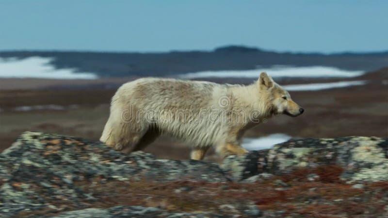 Noordpoolwolven, de wolfslooppas bij de kudde, proberend om zwakke of langzaam uit te spoelen Noord-Canada stock foto