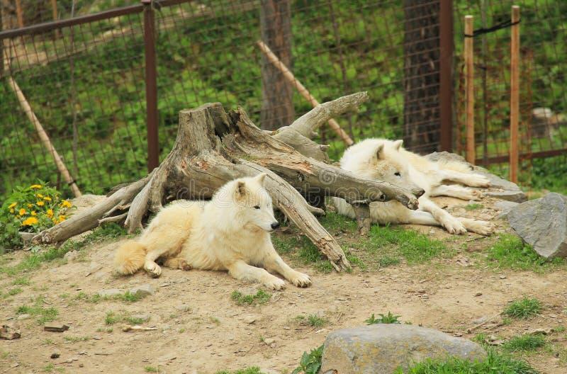Noordpoolwolven die rust hebben stock foto's