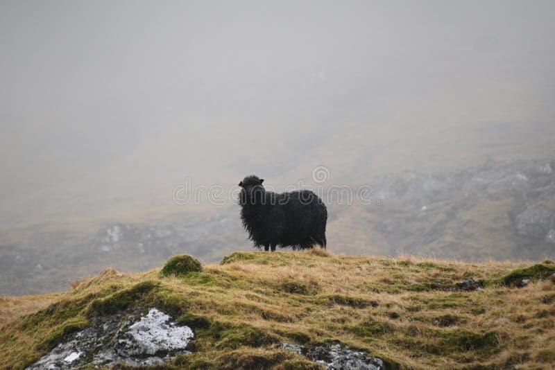 Noordse schapen royalty-vrije stock foto's