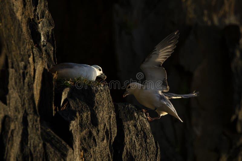 Noordse stormvogel die op klippenrand landen door een andere noordse stormvogel stock foto