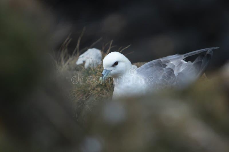 Noordse stormvogelzitting op nest bij Hawkcraig-klippen in Aberdour royalty-vrije stock afbeelding
