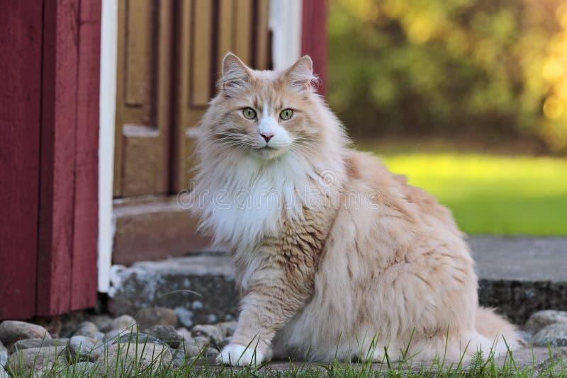 Noors boskattenmannetje dichtbij de deur stock afbeeldingen