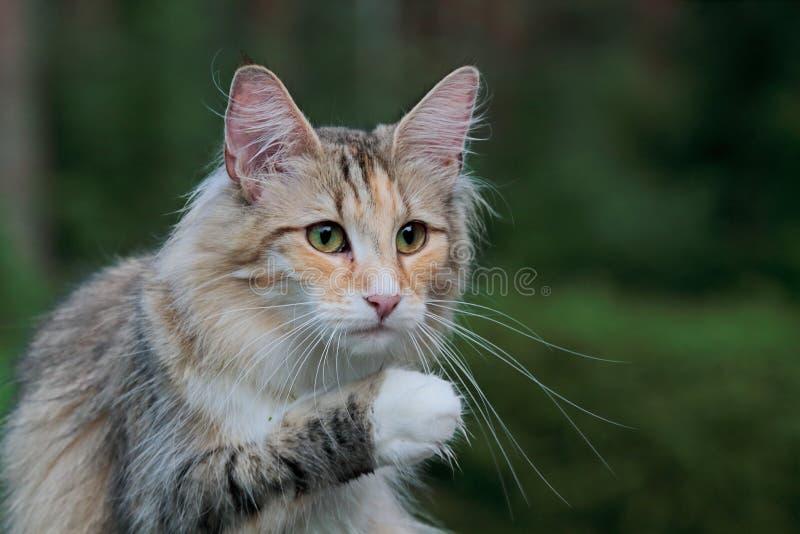 Noors boskattenwijfje die haar poot wassen stock afbeelding