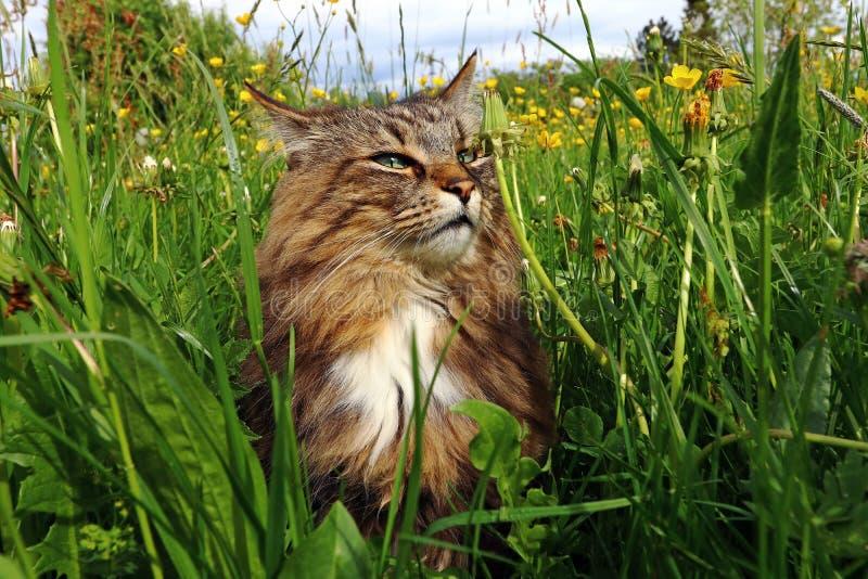 Noors Forest Cat geniet van de zon in het hoge gras royalty-vrije stock afbeeldingen