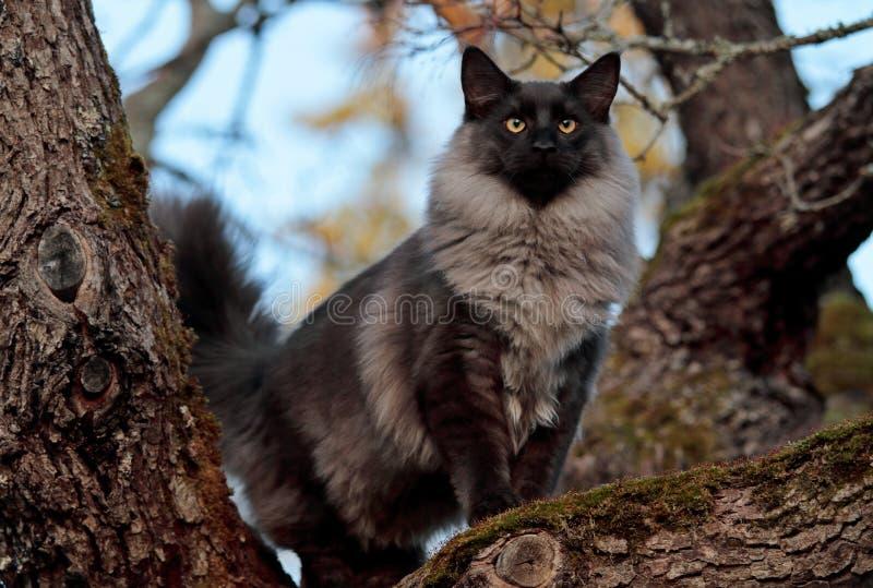 Noorse boskatten mannelijke tribunes hoog op boom royalty-vrije stock afbeeldingen