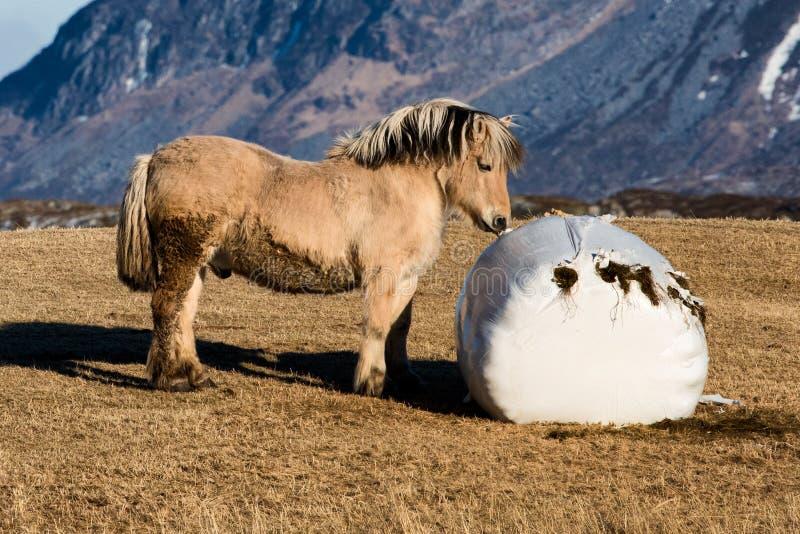 Noorse fjord horse stock foto