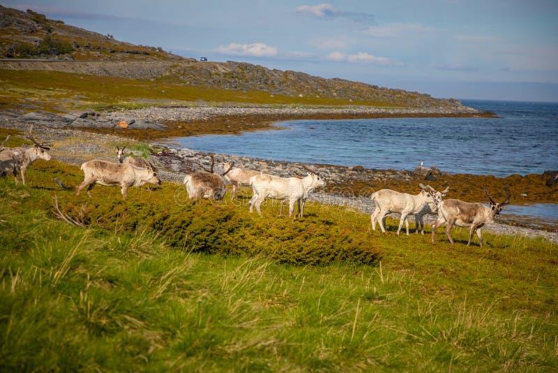 Noorse rendieren naast fjord, Noorwegen royalty-vrije stock foto's